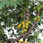 Cilt Bakımında Mucize Bitki; Neem Ağacı