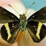 Jamaika'da yeni bir kelebek türü keşfedildi