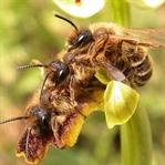 Arılar Kızana Geldi