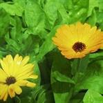 Aynısafa Çiçeğinin Faydaları Nelerdir ?