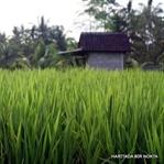 pirincin hikayesi - bali