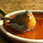 Kuşların şarkıları: Erkekler neden öter?