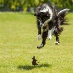 Köpekler Fare Yakalar Mı?