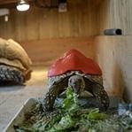 3D Yazıcı ile Kaplumbağaya Protez Kabuk