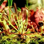 Büyüleyici görüntülerle 'Etobur Bitkiler'