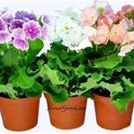 Onbiray Çiçeği | Bakımı, Yetiştirilmesi