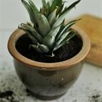 Ananası Evde Yetiştirmek