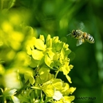 Arı alerjisi