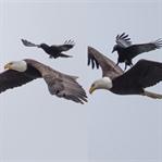 Kartal Üzerinde Kargaya Ücretsiz Uçuş