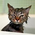 Kedileri Yıkamak Gerekir Mi?