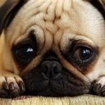 Köpek Aklı