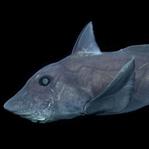 Bu Köpek Balığı'nın Cinsel Organı Alnında!
