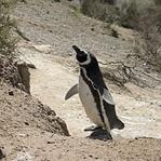 Zu den Pinguinen in Patagonien