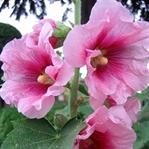 Hatmi Çiçeği Nedir ? Hatmi Çiçeğinin Faydaları