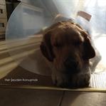 Köpeklerde Kısırlık Ameliyatı Neden Gerekli?