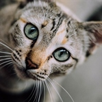 Kedilerin Karakterlerini Oluşturan 5 Faktör