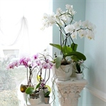 Orkideler Nasıl Budanır?