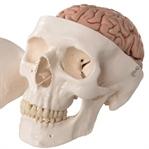 Anatomi Ayini