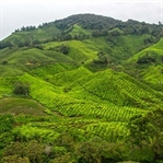 Cameron Highlands - Tour durch Malaysias Hochland