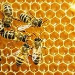 Bal Arıları Hakkında 15 İlginç Bilgi