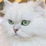 Evde Beslenebilecek Kedi Cinsleri