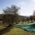 Grünes Glück: Olivenernte in der Toskana