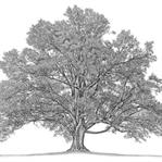 Soy Ağacı Nasıl Bulunur ?