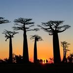 Baobaballee: In Madagaskar stehen die Bäume Kopf