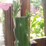 Çabuk Büyüyen Kaktüs Austrocylindropuntia Bakımı