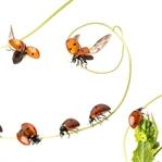 Uğur Böceği Hakkında İlginç Bilgiler