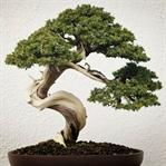 Ağaçlarda Yeni Hava 'Bonsai'