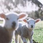 Kuschelig weich und unnötig - Lammfelle für Babys
