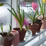 Evin Havasını Değiştiren 5 Çiçek