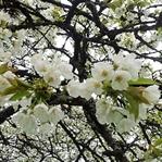 Der Kirschblüten Flash