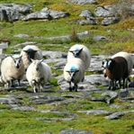 Hunde, die auf Schafe starren: Hütehund Vorführung