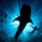 Mit Walhaien schwimmen - die Giganten der Meere!