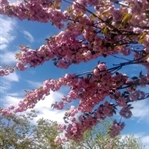 İstanbul'da Japon Kiraz Ağaçları