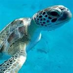 Schwimmen mit Schildkröten auf Barbados (Karibik)
