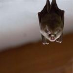 Baby-Batman-Alarm im Fledermaushaus