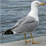 Gök Denizlerin Ak Kuşları: Martılar