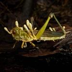 Katil Mantar: Cordyceps