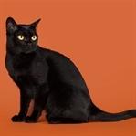 Küçük Kara Panter Bombay Kedisi Ve Özellikleri