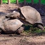 Mauritius: Schildkröte im Liebesrausch