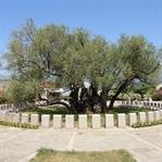 Stara Maslina - Der älteste Baum Europas