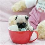 Teacup Köpekler Hakkında Kalp Acıtan Gerçekler