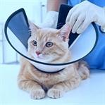Kedilerde Kısırlaştırma ve Etkileri