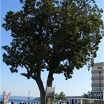 İskeledeki Anıt Ağaç