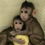 Çin'de İlk Kez Maymun Klonlandı