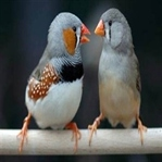Mini mini bir dost: Hint bülbülü