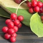 Şizandra meyvesi ile doğal çözüm